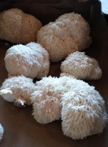 A lionsmane mushroom crop at Rolling Rocks Farm in Graham.