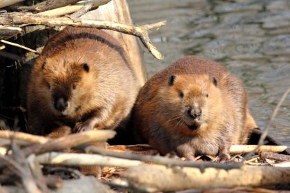 beavers-1-flickr-cc_small